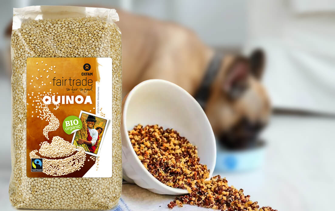 Can dogs eat quinoa, and what symptoms occur when dogs eat it?