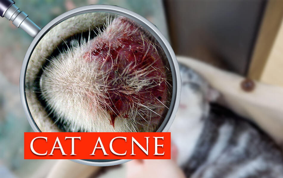 cat acne,feline acne or cat chin acne:Dont worry Here's How to Treat It!
