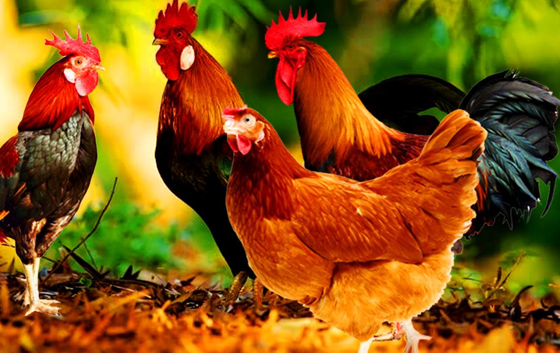 Chickens Live