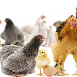 Everything You Need to Know About the Brahma Chicken Size Colors Eggs And Height