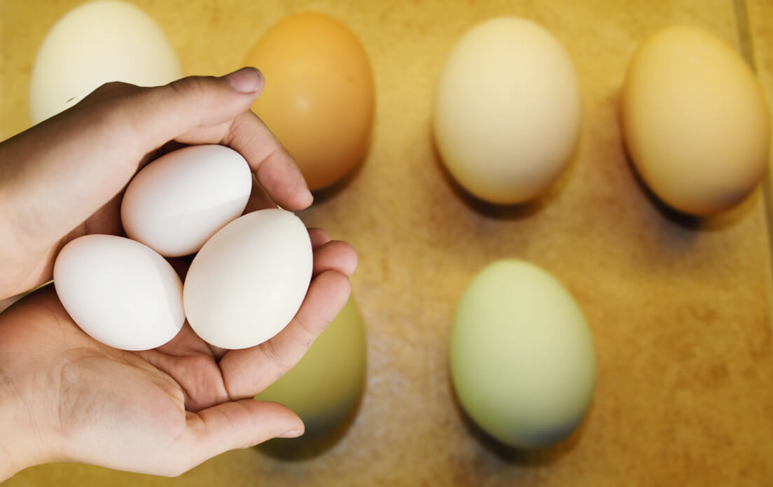 Everything You Need to Know About the Brahma Chicken Size Colors Eggs
