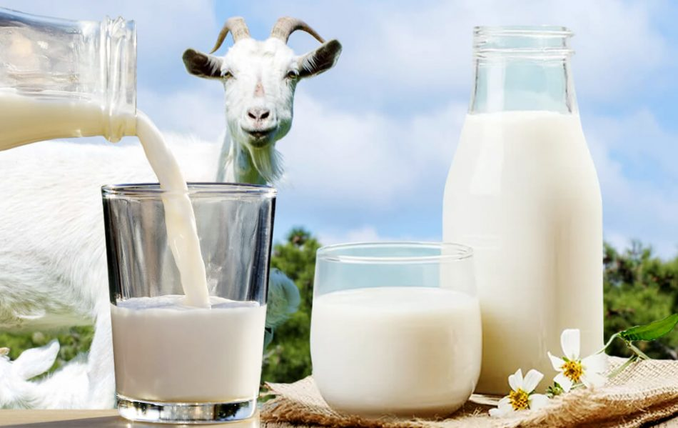 Is Goat Milk Lactose Free And Safe for Lactose Intolerant Patients