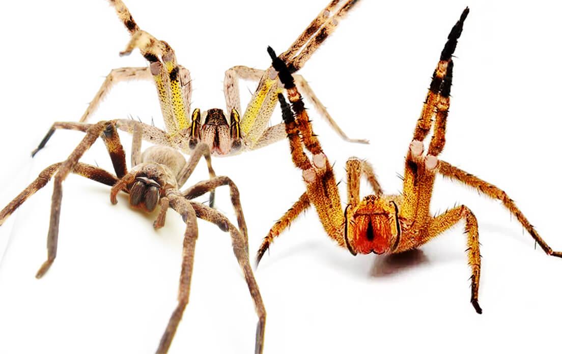 Brazilian spiders