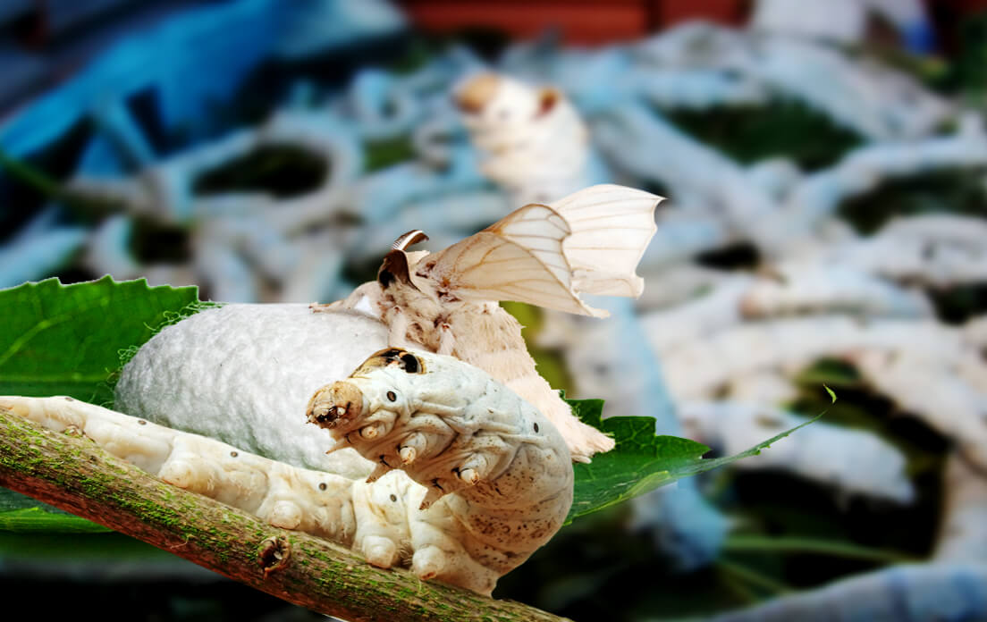 "Do You Know How Much ""Weight of Average Silkworm"" and ""How Fast Can a Domestic Silkmoth Run"""