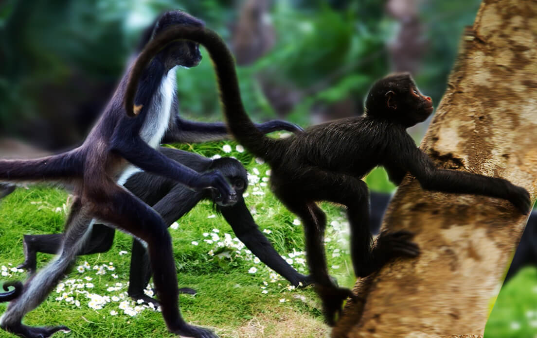 Do you know? how fast can a spider monkey run