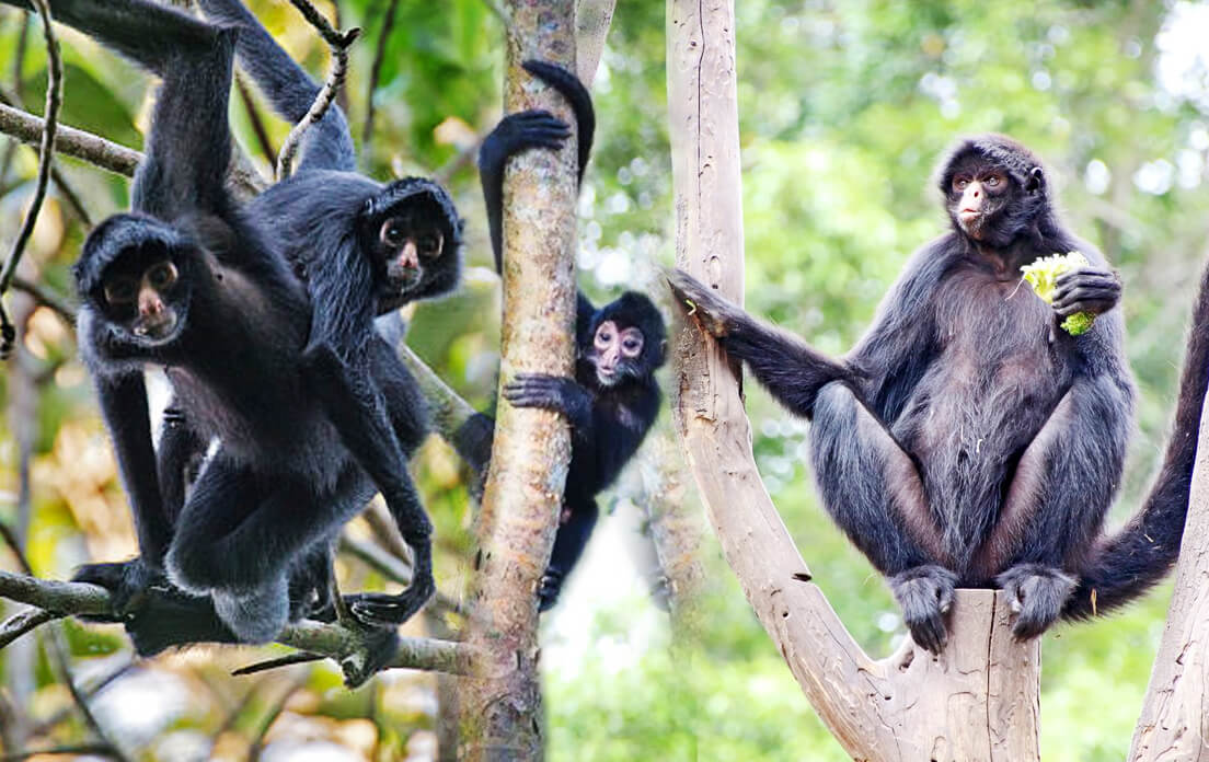 how fast can a spider monkey run
