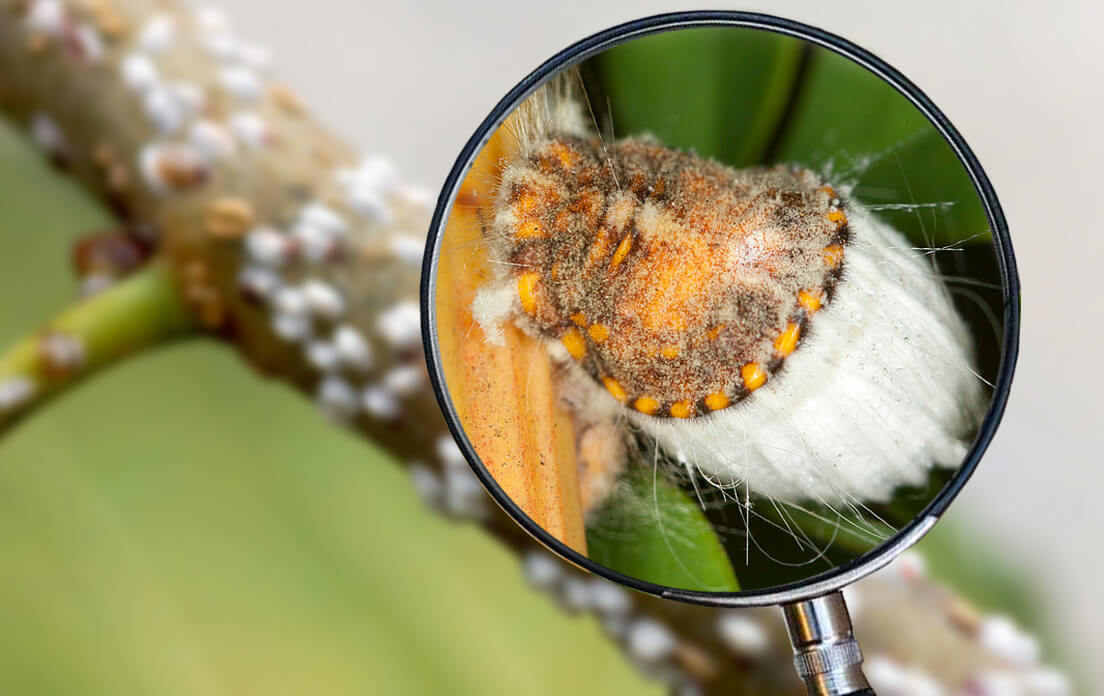 How Fast Can A Scale Insect Run