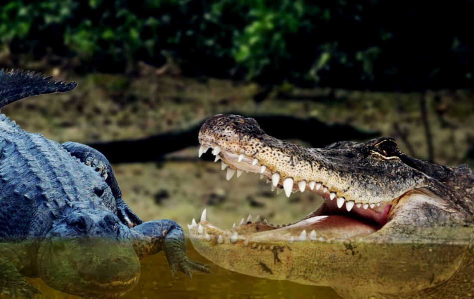 how fast can a alligator run