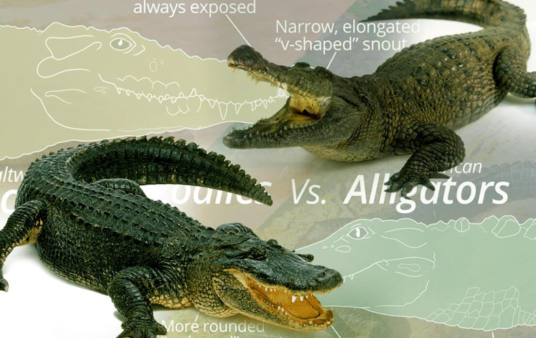 how fast can a alligator run: crocodile vs alligator