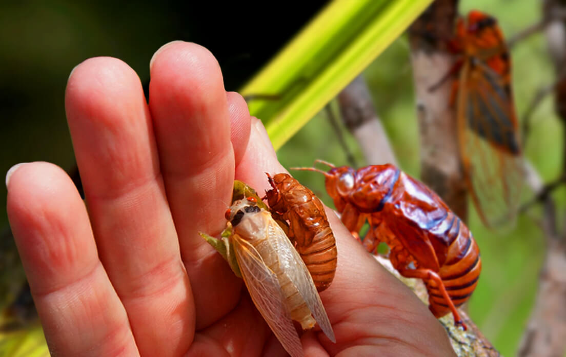 How Fast Can a Cicada Run