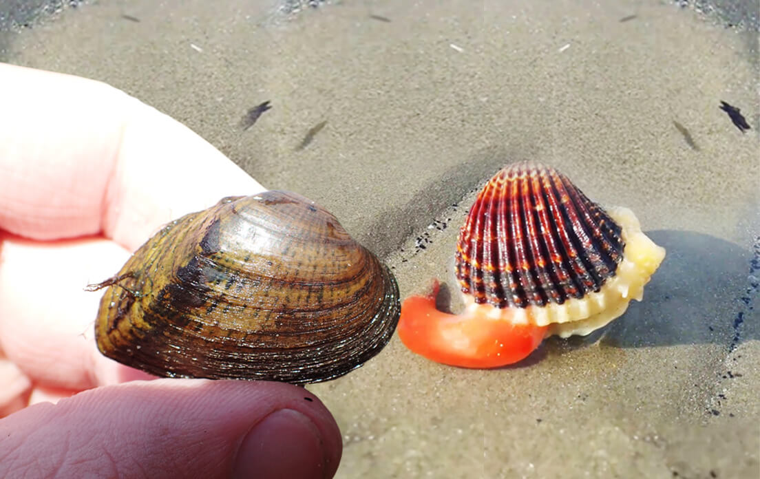 how fast can a clam run and what are the benefits of clam for the body?