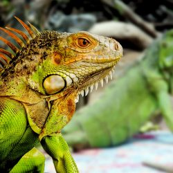 how fast can a iguana run