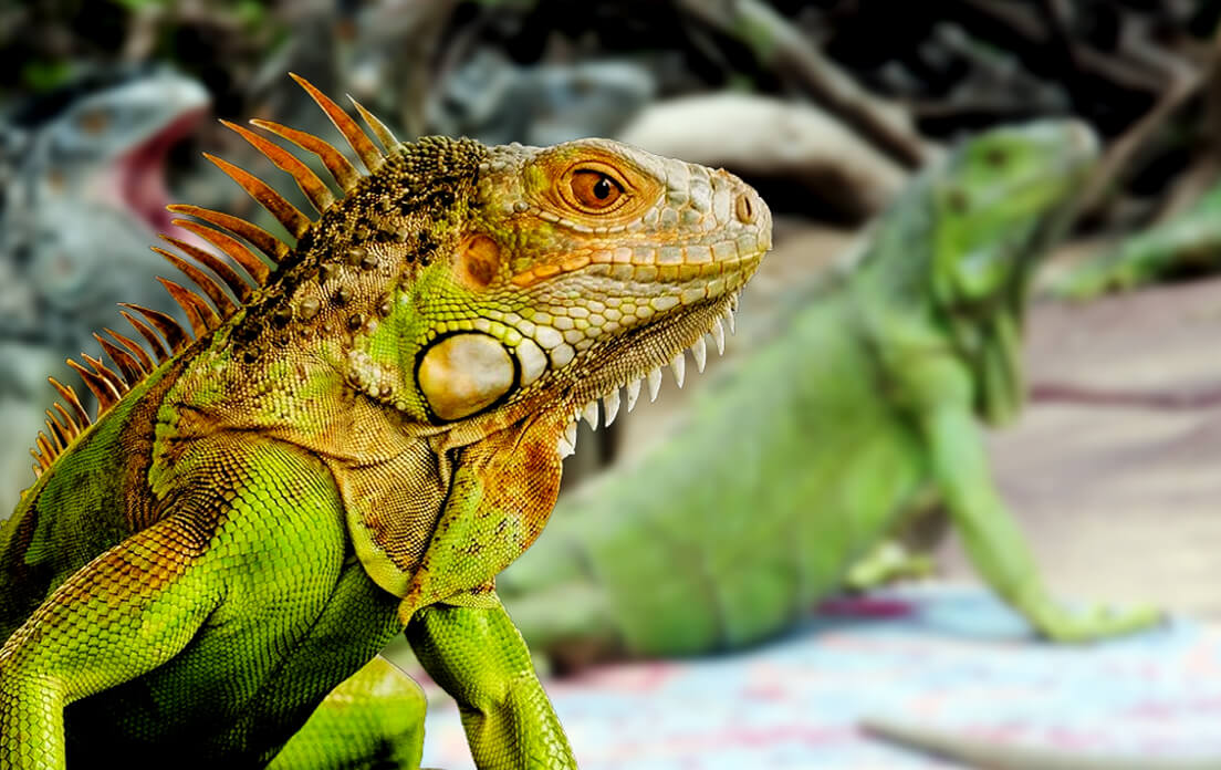 how fast can a iguana run