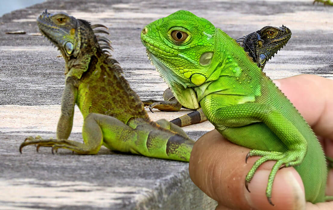 how fast can a iguana run: facts for kids