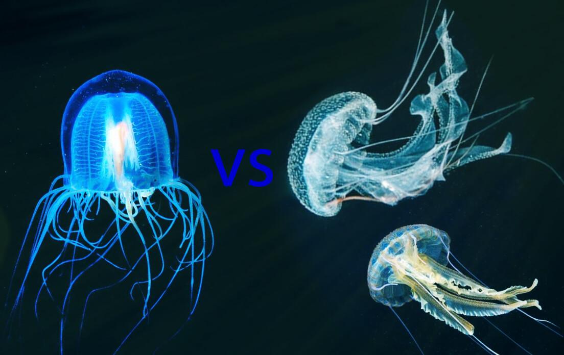 How Fast Can a Irukandji Jellyfish Run The Difference Between Jellyfish and Irukandji Jellyfish