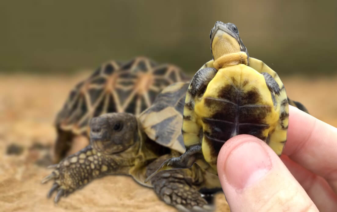 how fast can a turtle run: size and species