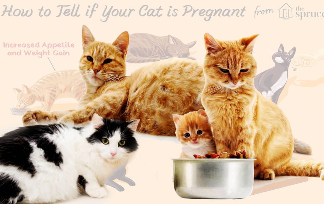 how to tell how far along a cat is pregnant