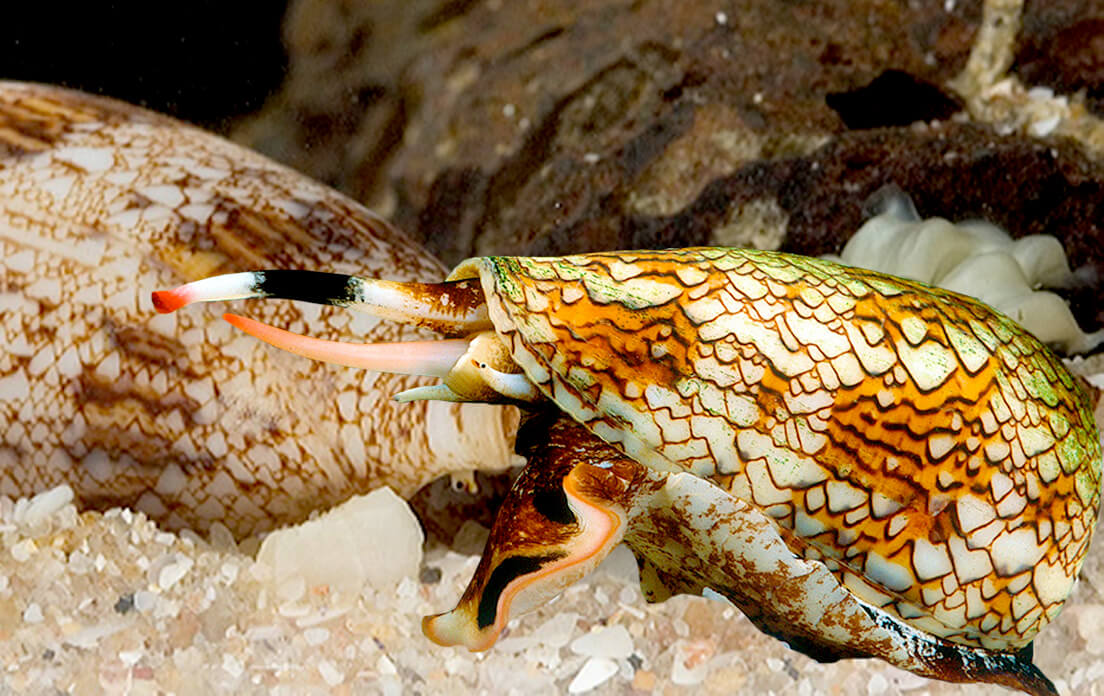 Marbled Cone Snail