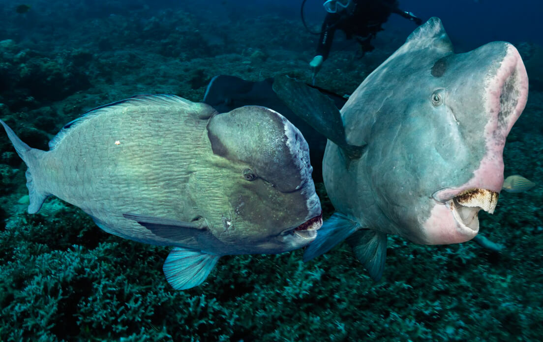 weight of average parrotfish: type and character