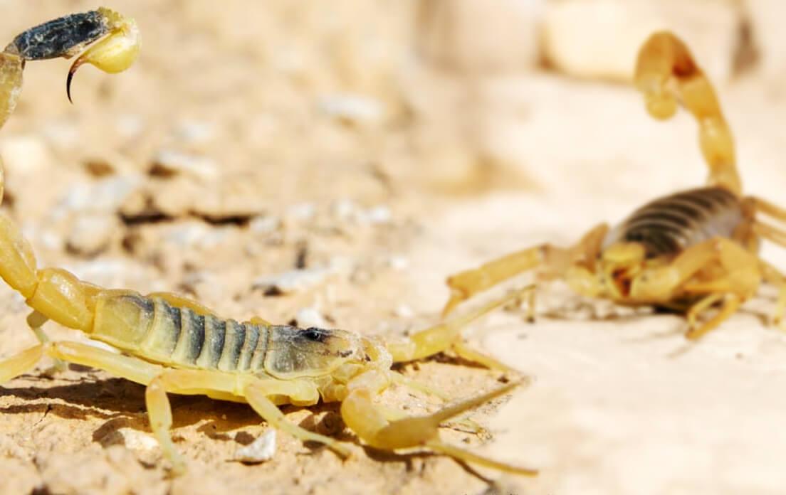 Scorpion DeathStalker