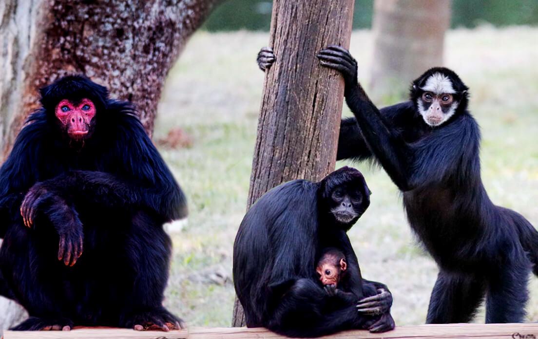 weight of average spider monkey: spider monkey facts