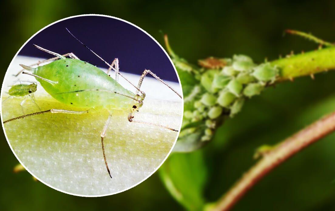 weight of average aphid: growth and reproduction