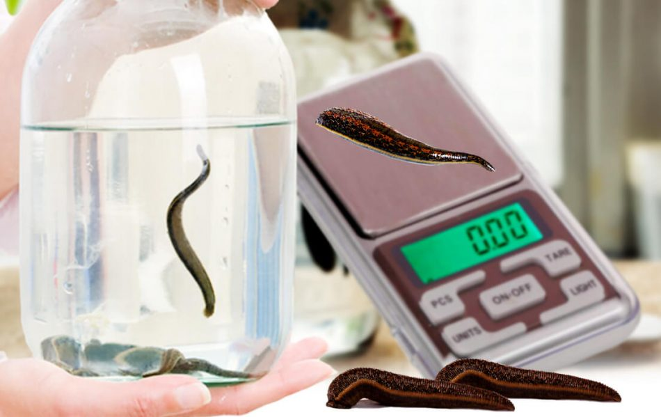 weight of average leech