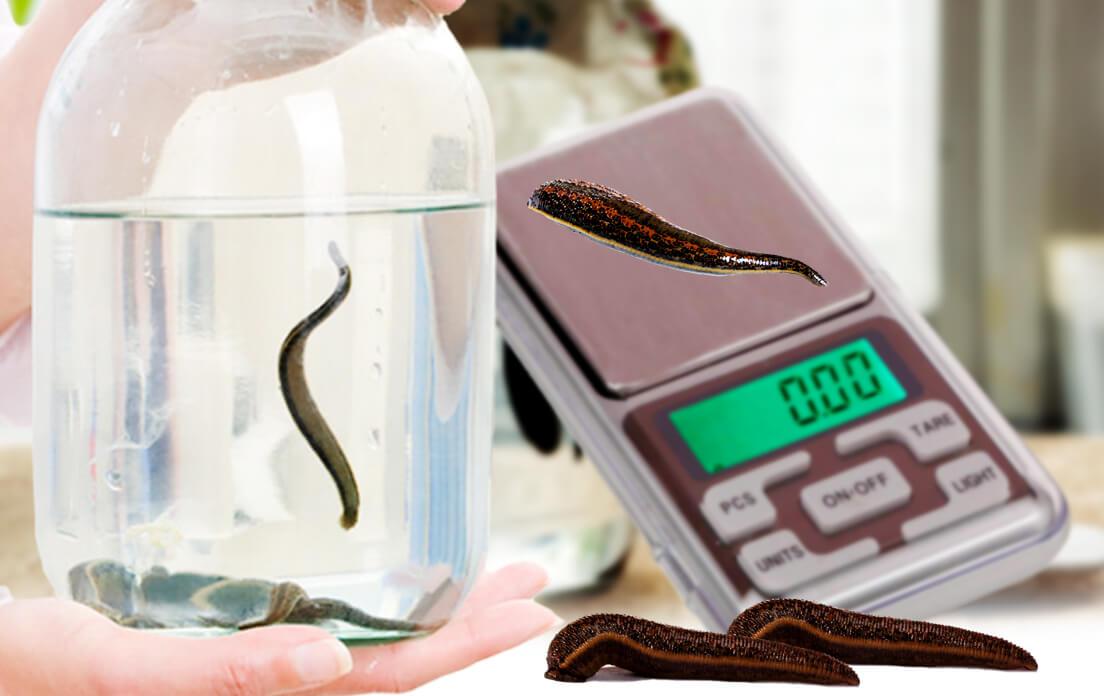 weight of average leech