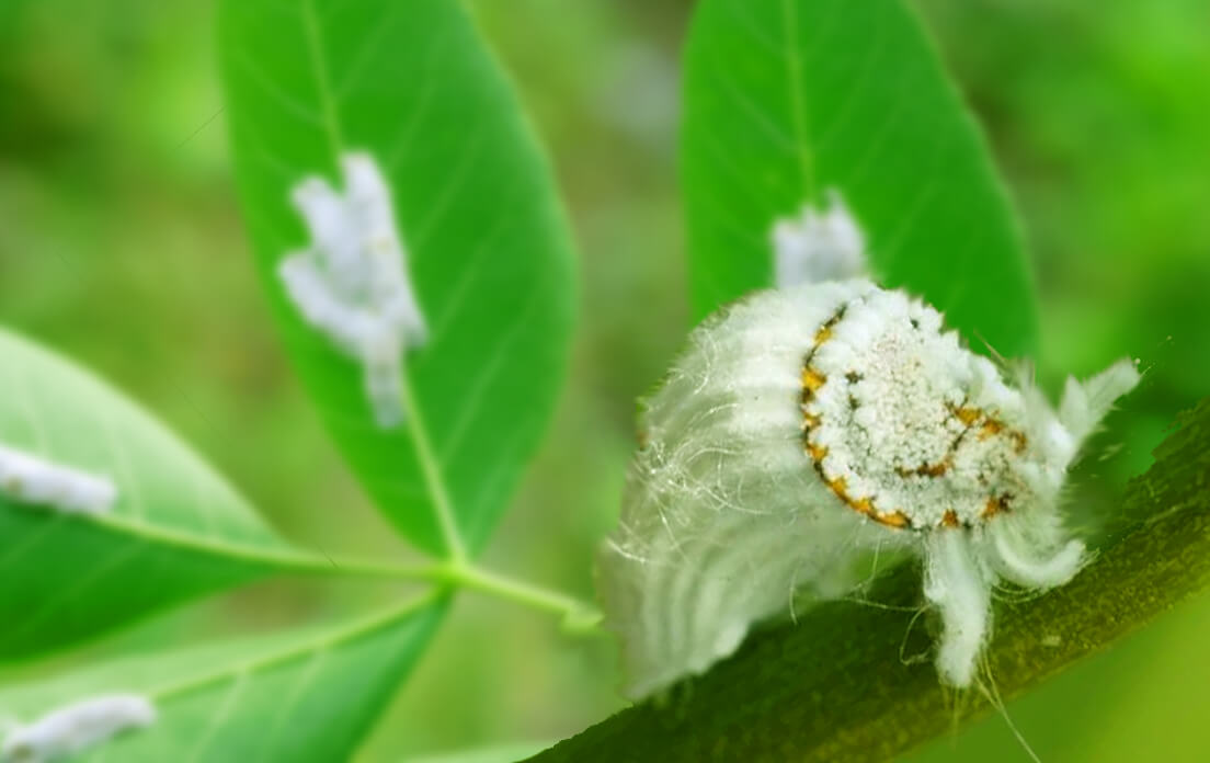 weight of average scale insect: fact and information