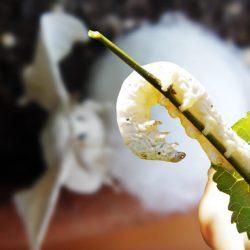 weight of average silkworm
