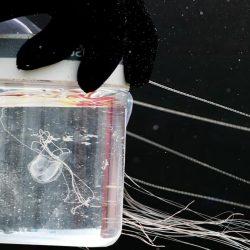 weight of average irukandji jellyfish