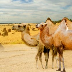 how fast can a camel run