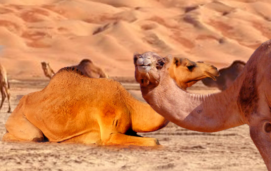 how fast can a camel run: facts about camels