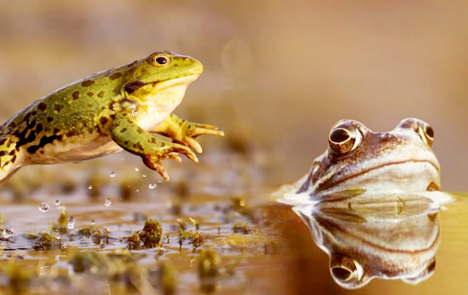 how fast can a frog run
