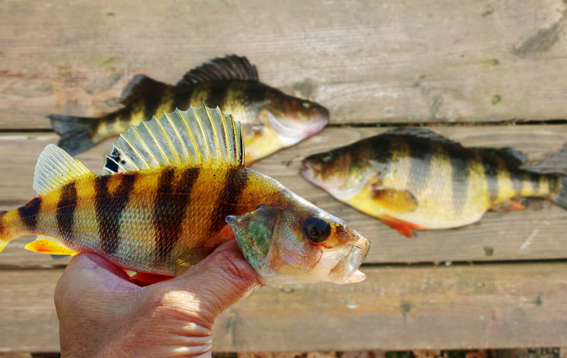 how fast can a perch run: facts about perch