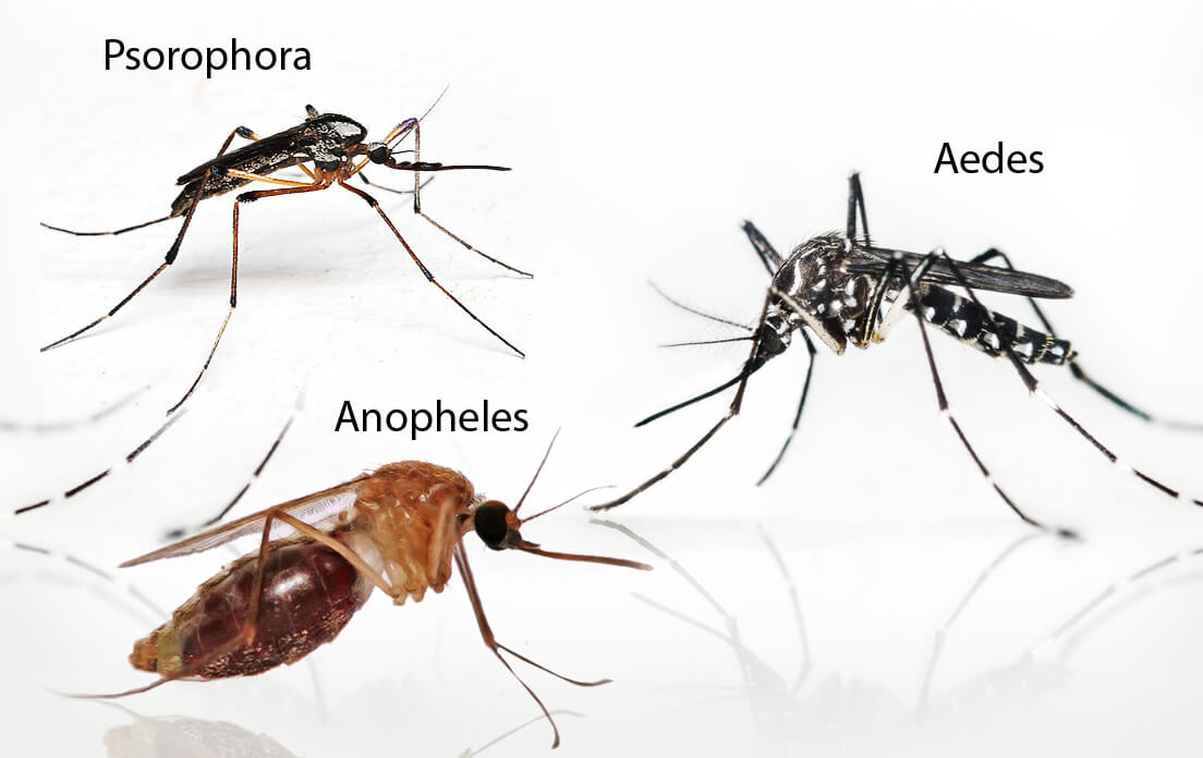 Weight of Average Mosquito: Types and Dangers