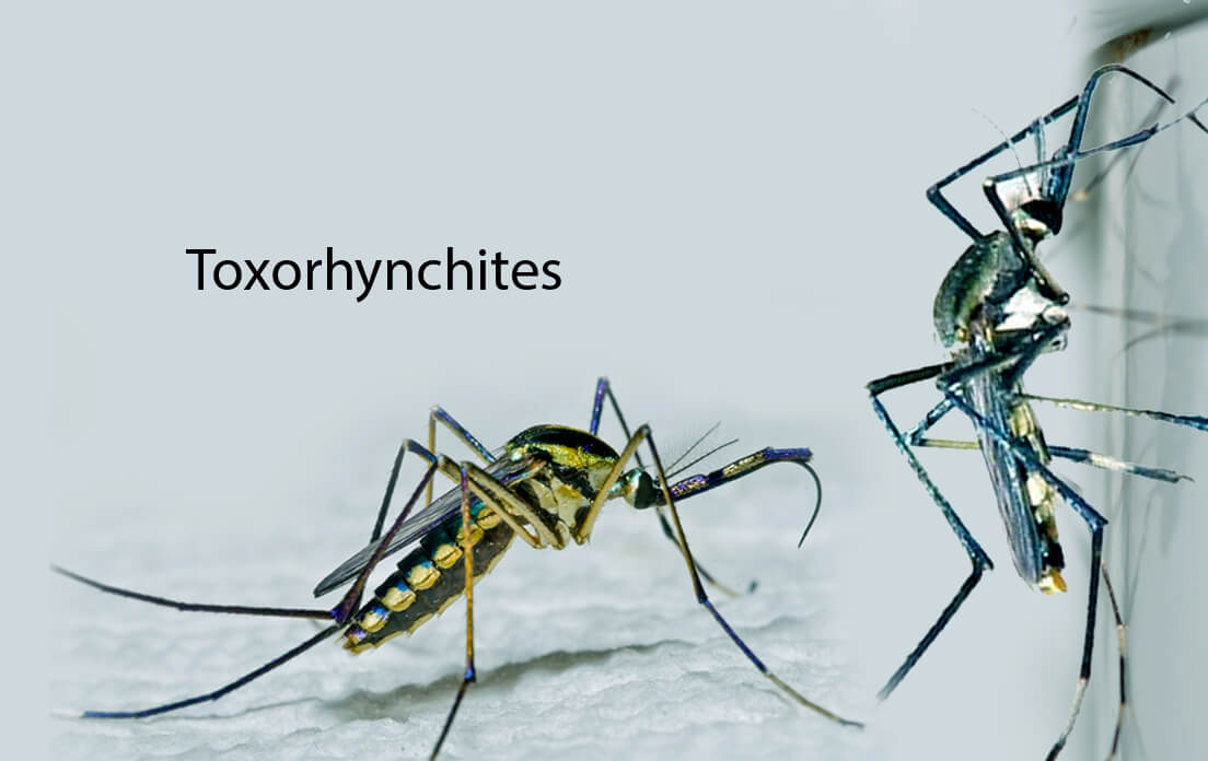 Mosquito: Types and Dangers