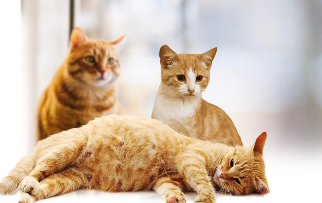 How Long Does Cats Stay Pregnant: How to Find Out and How To Take Care Of Her To Keep Kitten Healthy