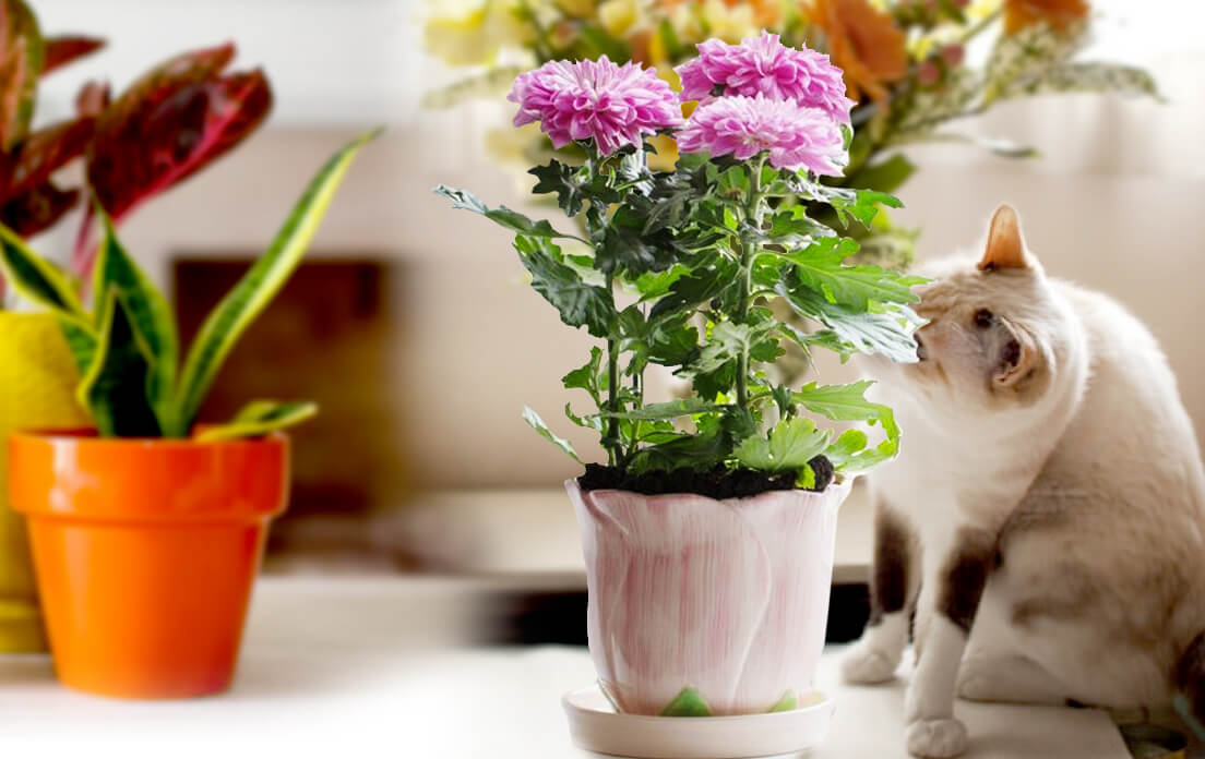 Are Mums Poisonous To Cats: Benefits and Side Effects (Cat Lover)