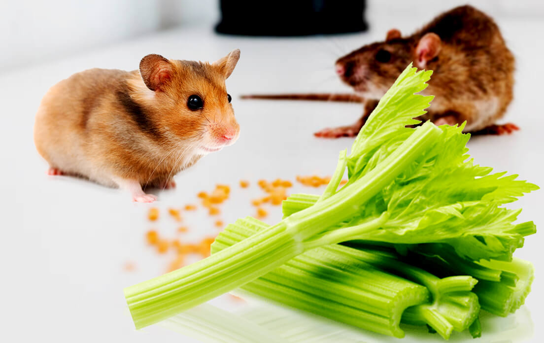 can rats have celery