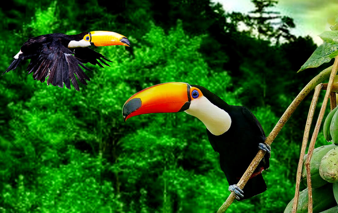 What Is The Most Recognized Type Of Toucan?: Animal Care