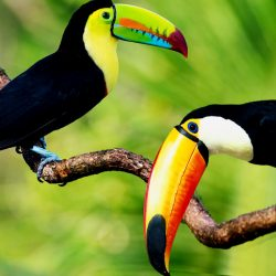 what is the most recognized type of toucan