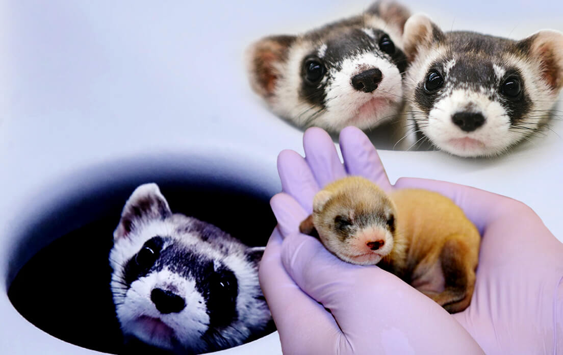 what is a baby ferret called?: Animal Care