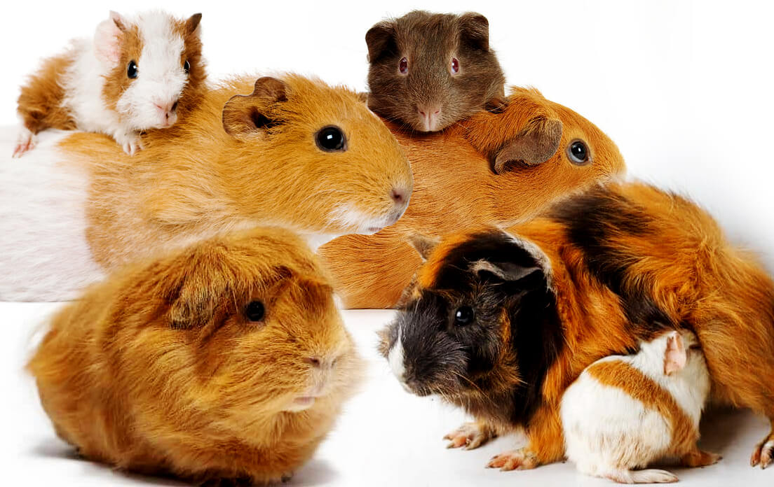 what is a baby guinea pig called?: Animal Care