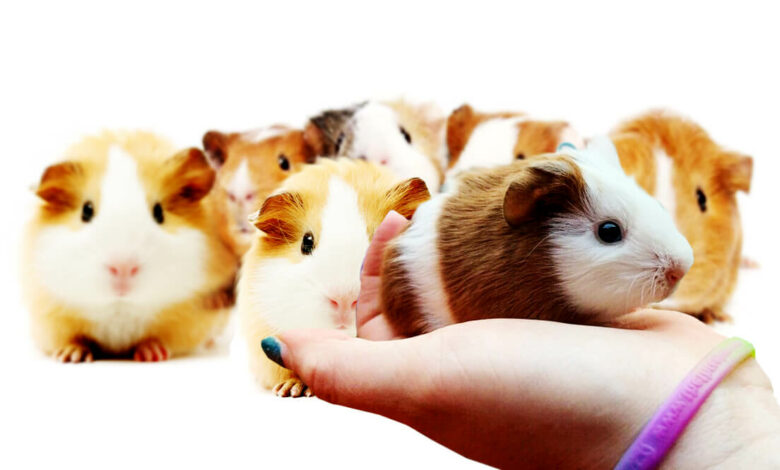 what is a baby guinea pig called