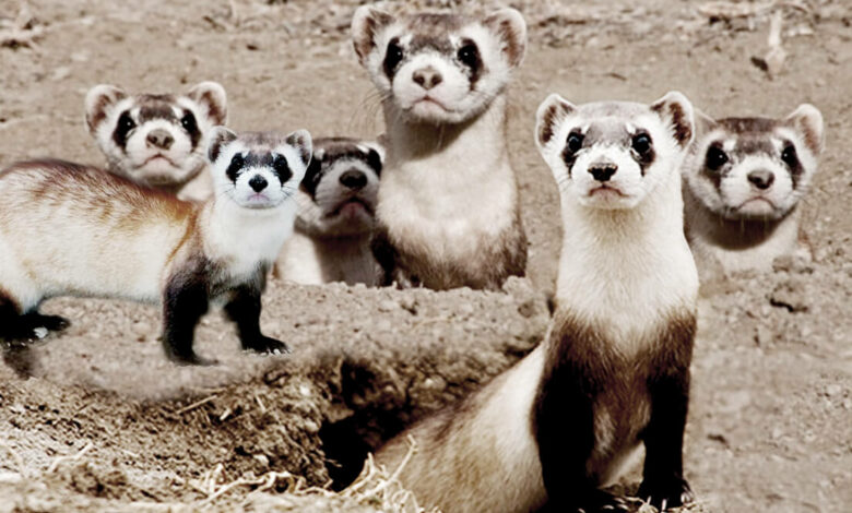 what is a group of ferrets called?