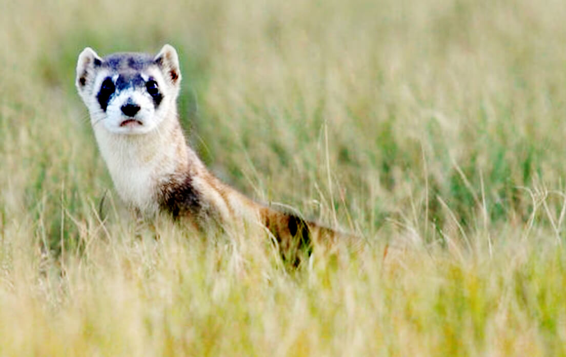 what is a group of ferrets called?: Animal Care