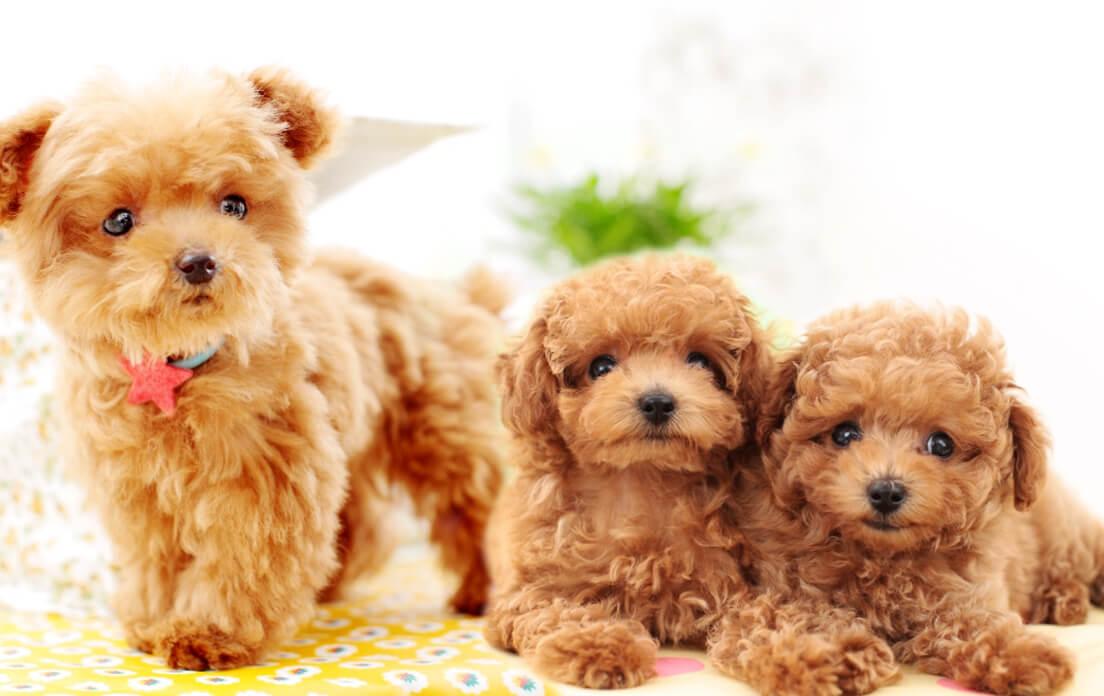 Malshi Teddy Bear Dog